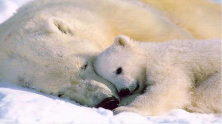 polar-bear-1920x1080